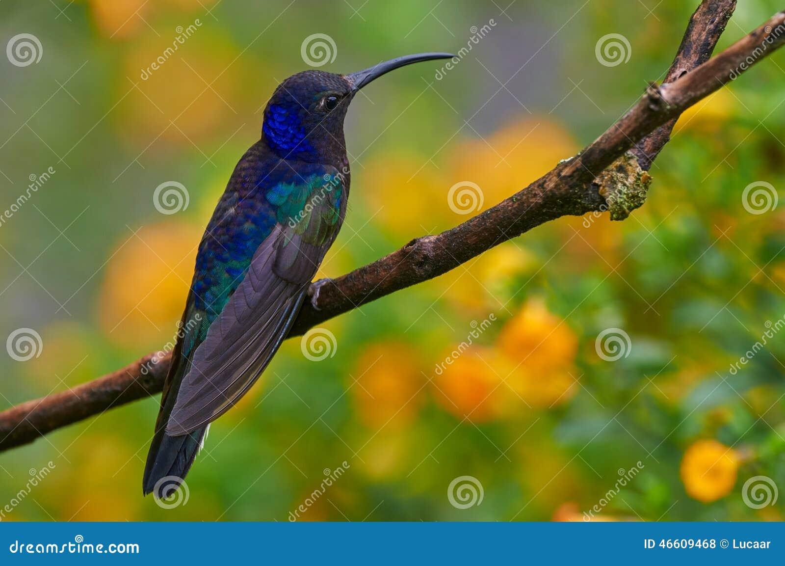 Varón sabrewing violeta encaramado en una rama