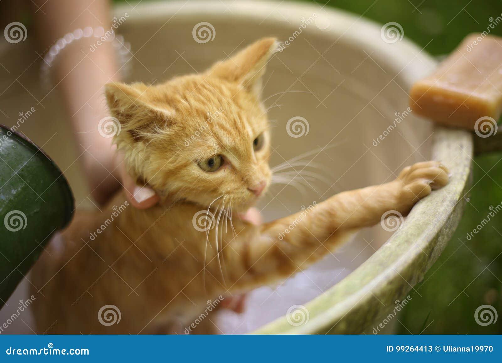 Vara röd våt kattunge för hår lite wash i mänskliga händer