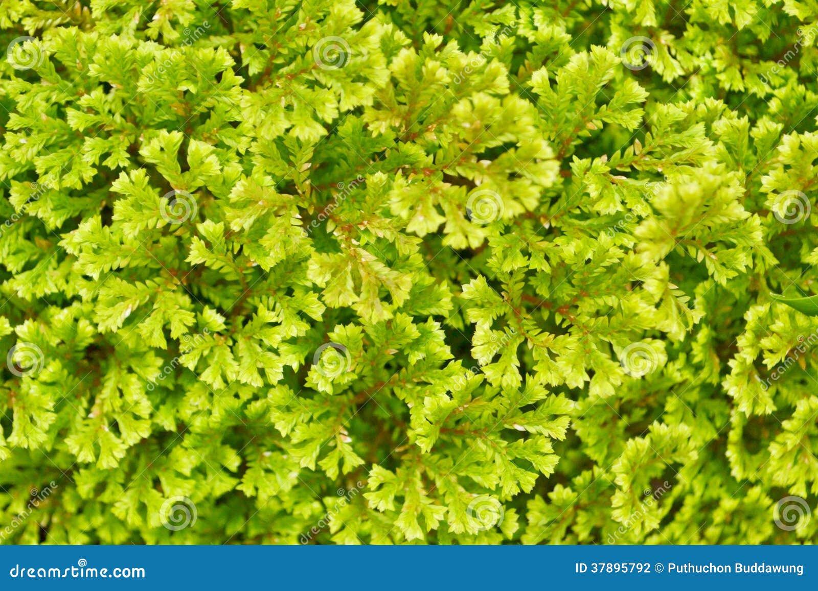 Varenbladeren (Varenachtigen)