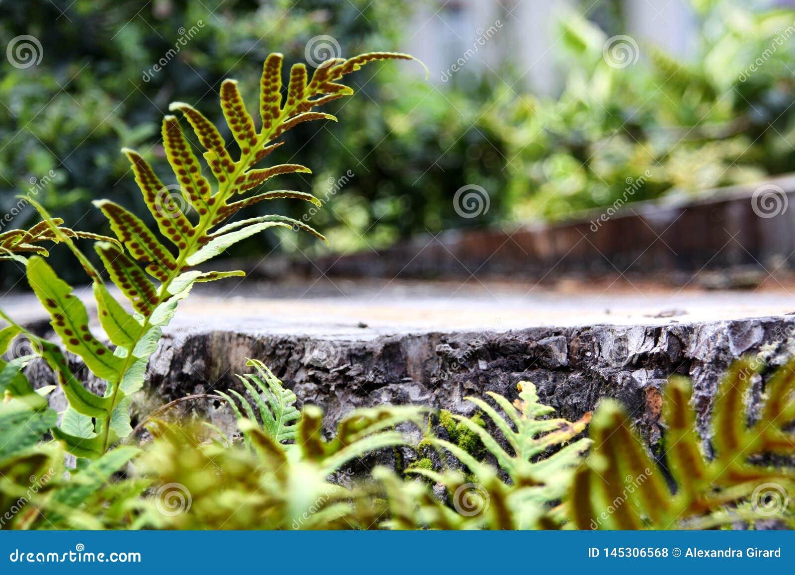 Varens rond een boomstomp in het bos, het standpunt van het oogniveau Tekstruimte