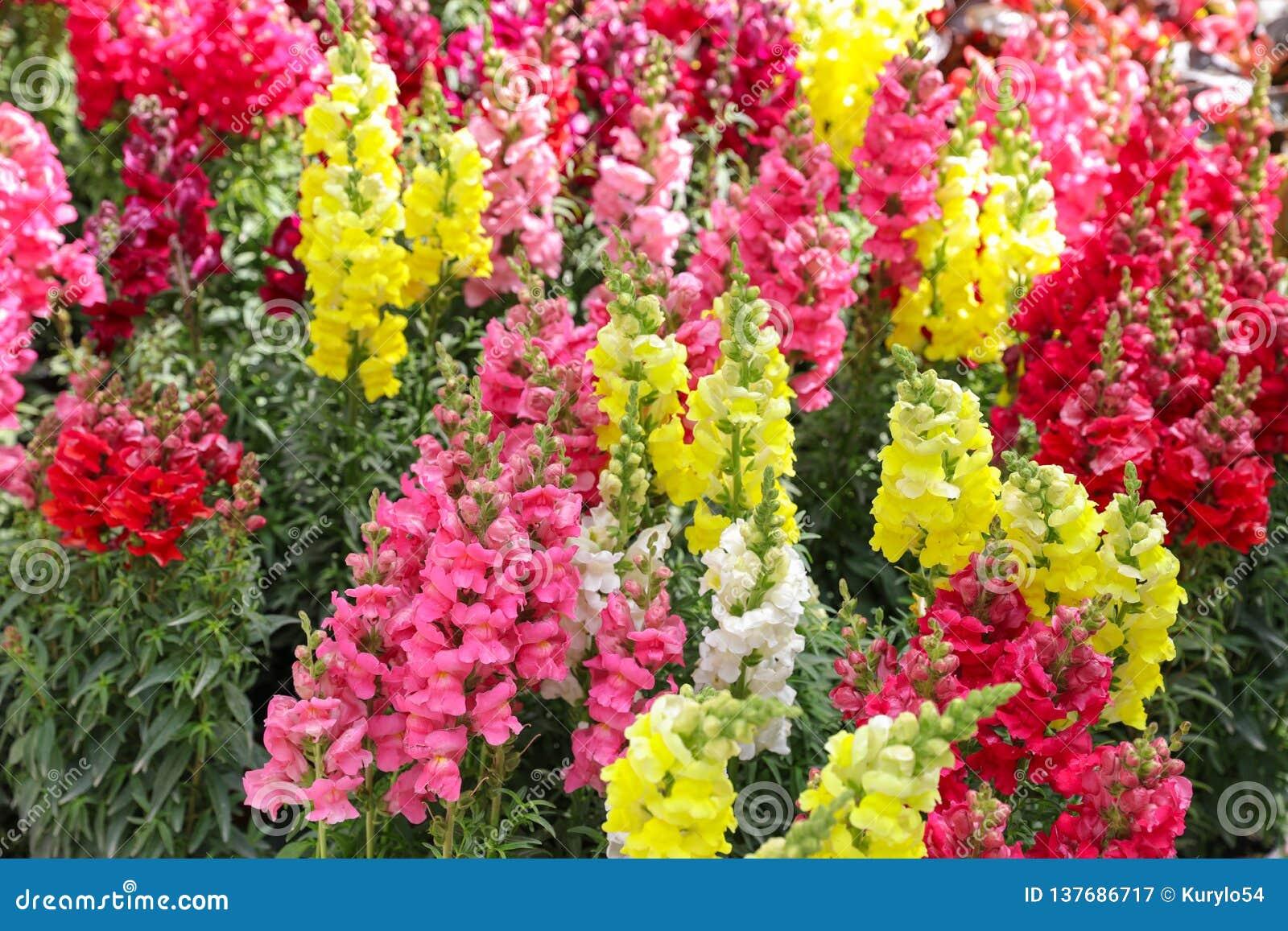Variété De Beau Majus De Muflier Ou Fleurs De Muflier Rouges ...