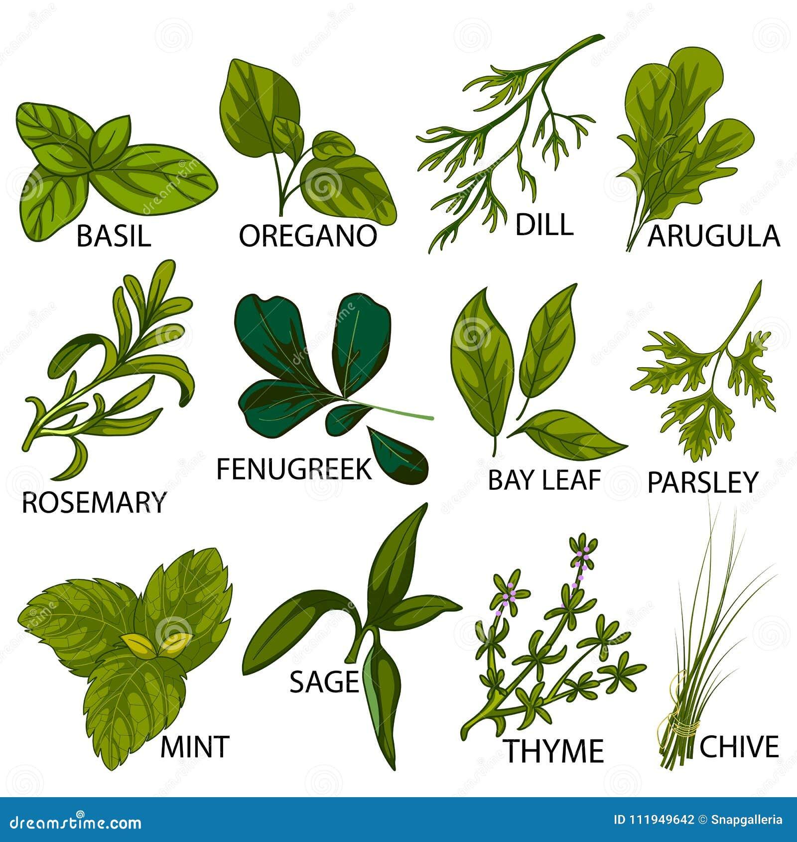 Différentes Variétés De Thym variété différente d'herbes fraîches utilisées dans la