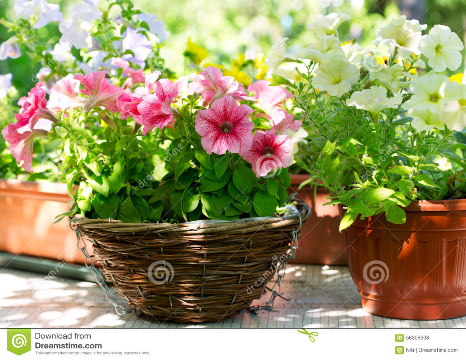 Vari fiori della petunia