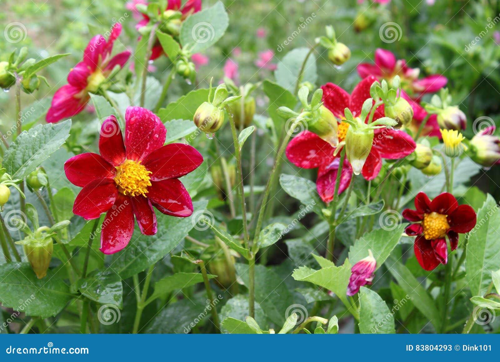 Variabilis bonitos da dália da flor com gotas da água