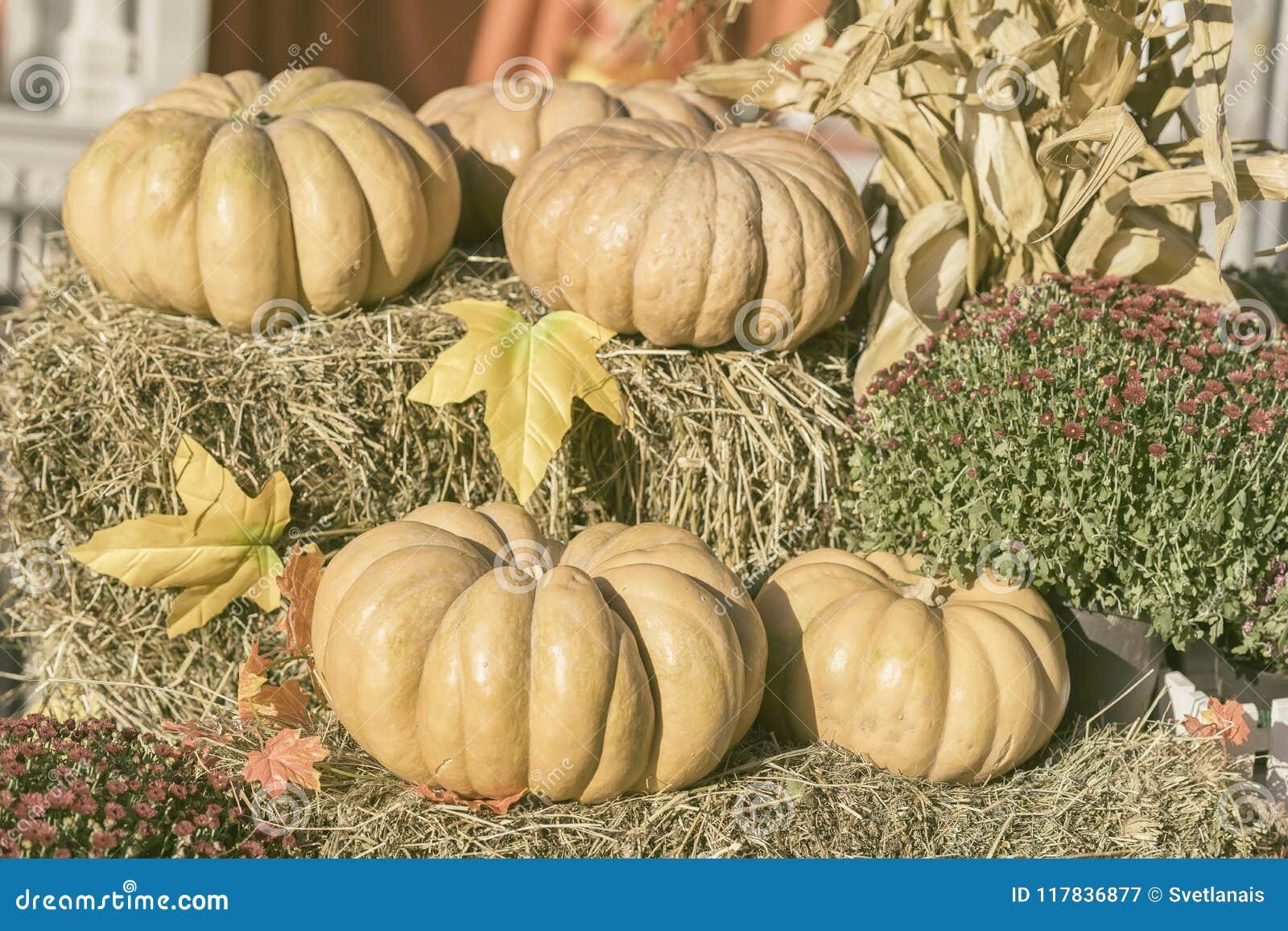 Varias calabazas orgánicas grandes en la paja, las hojas de otoño y las flores secas Fondo de la cosecha Símbolo de días de fiest