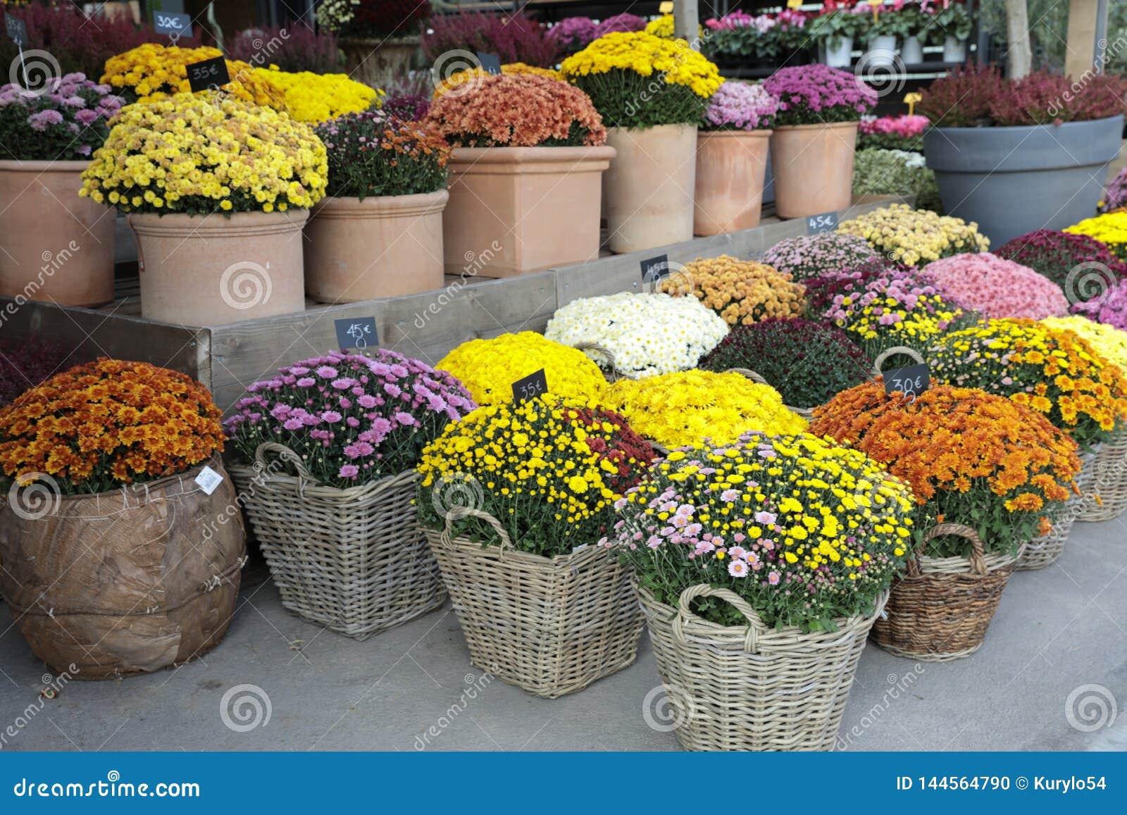 Variation av den inlagda krysantemumväxten i blommastången