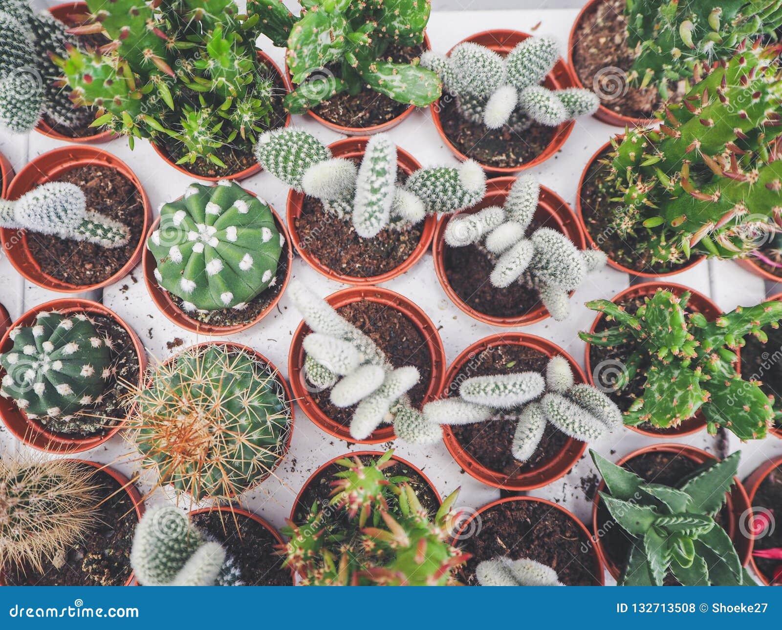 Variation av små kaktusväxter i plast- krukor