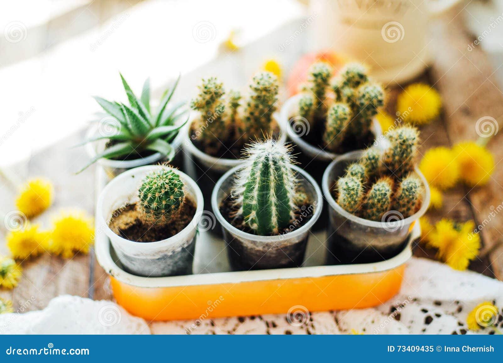 Varie piante del cactus fuoco selettivo cactus e - Cactus da interno ...