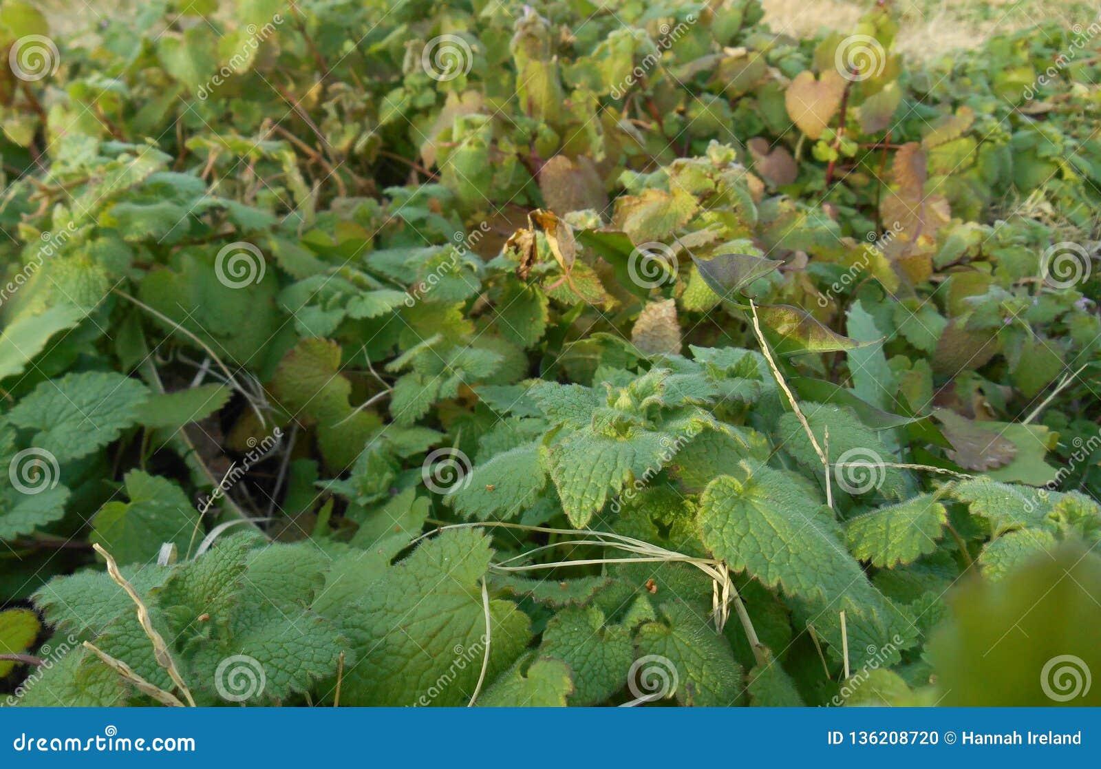 Variedade das gramas