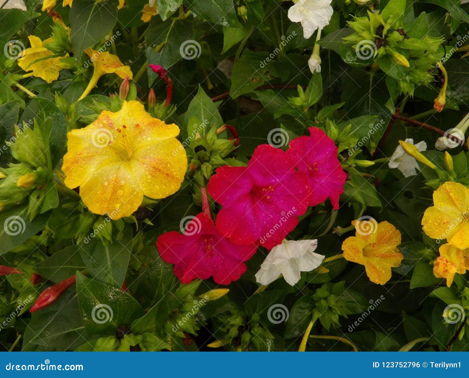 A variedade de maravilha do pulso de disparo do ` de quatro O do Peru floresce na flor completa