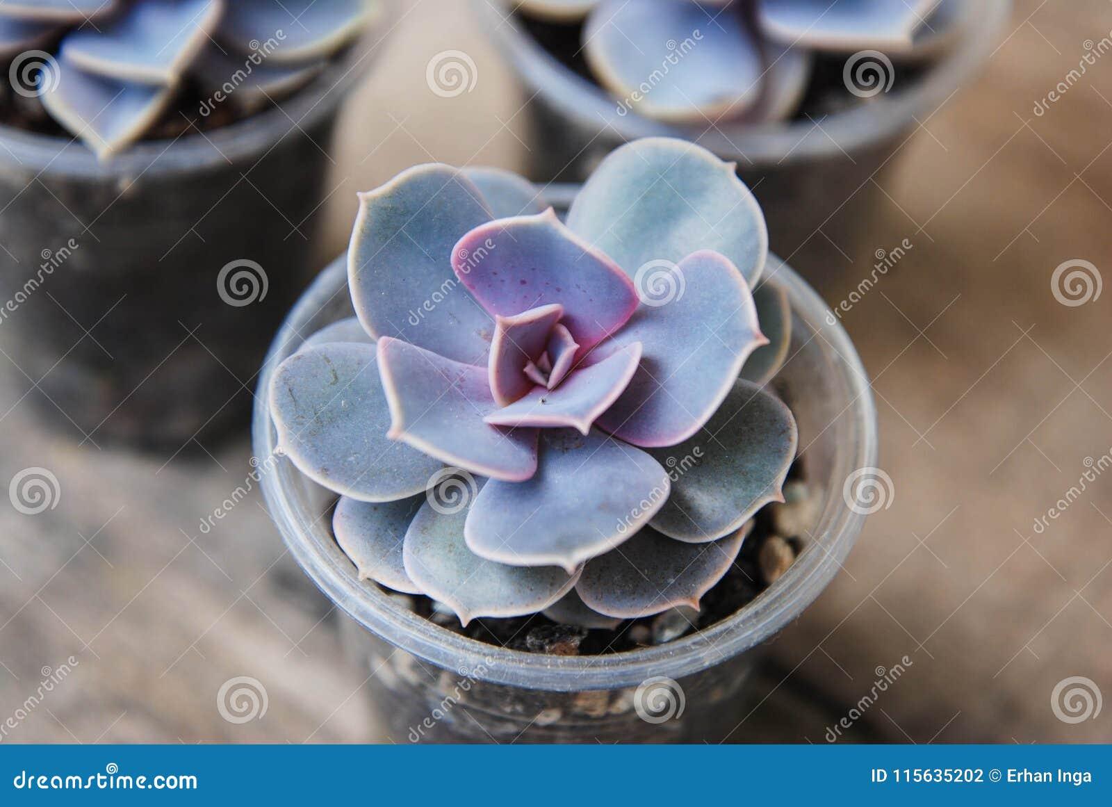 A variedade de plantas carnudas em pasta planta o fundo de madeira rústico de Graptoveria Titubans isoalted