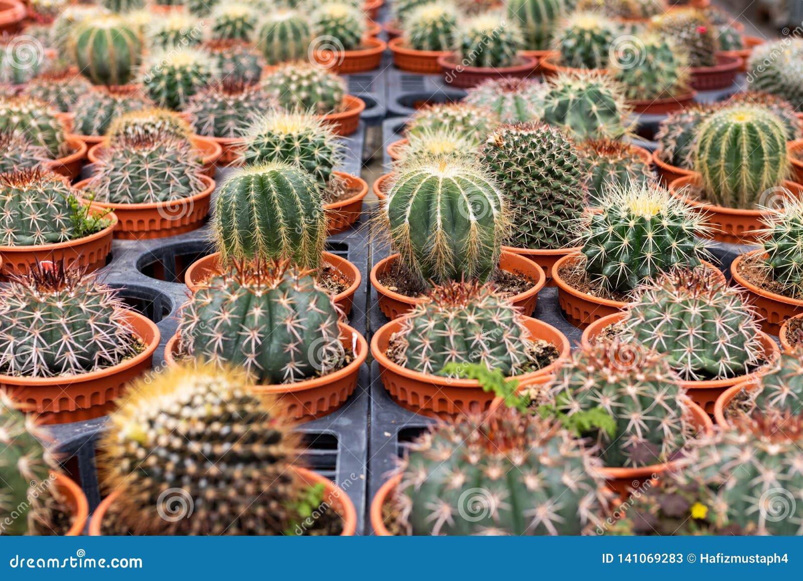 Variedades de planta do cacto no potenciômetro Feche acima da vista Foco seletivo
