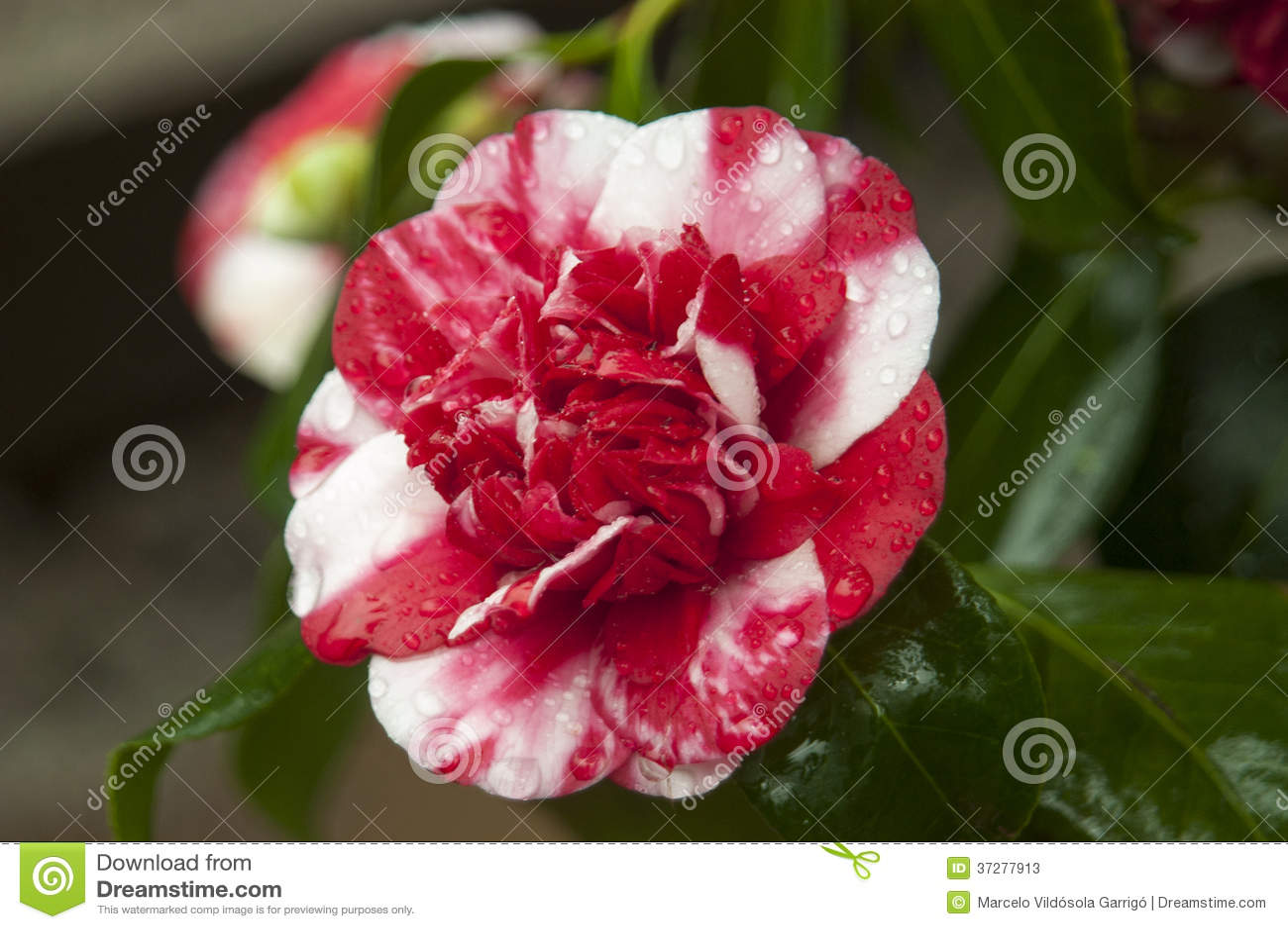 Variegated camellia stock image image of camellia fresh - Camelia fotos ...