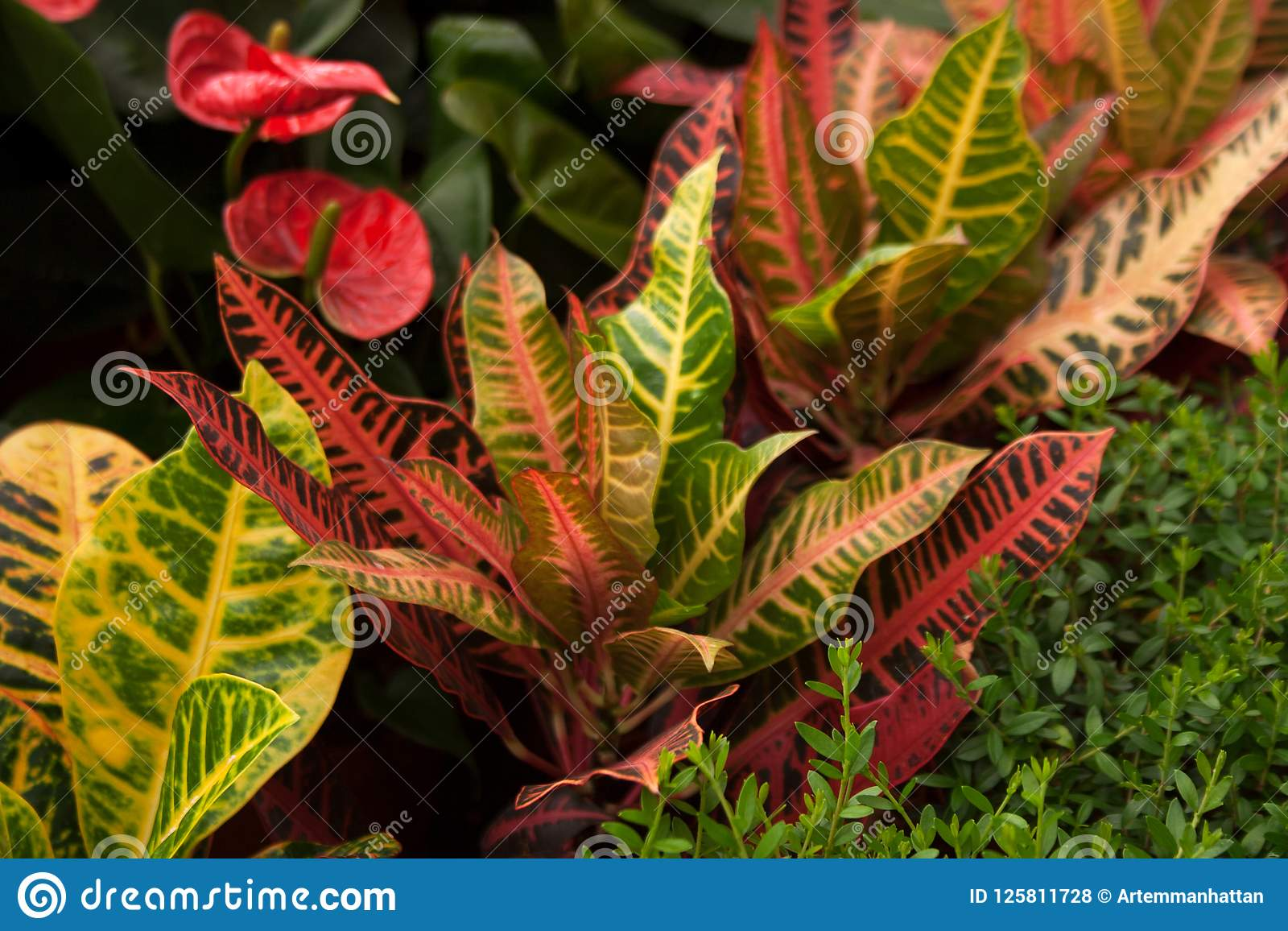 Variegated croton plant with bright colorful leaves