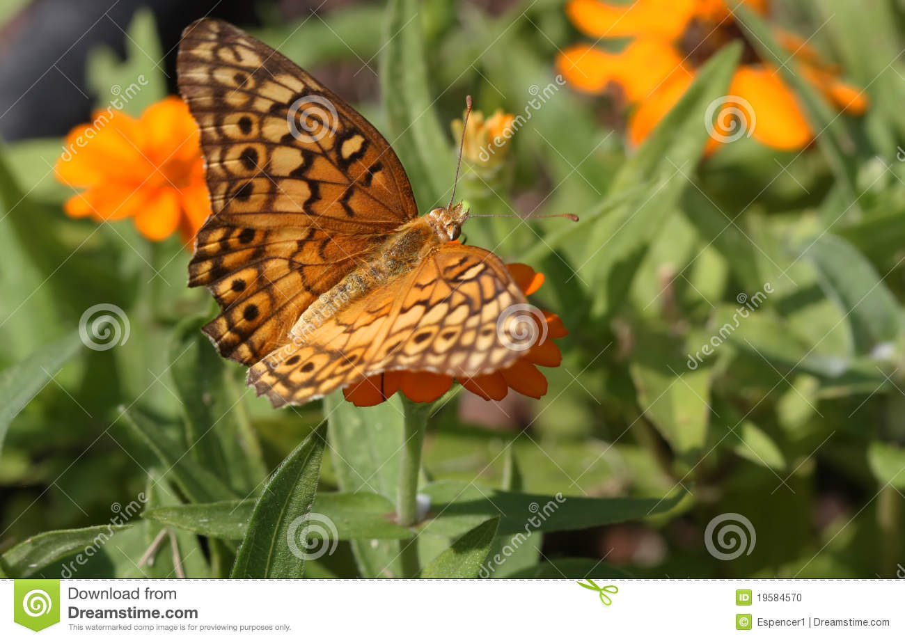 Variegated Frittilary Butterfly