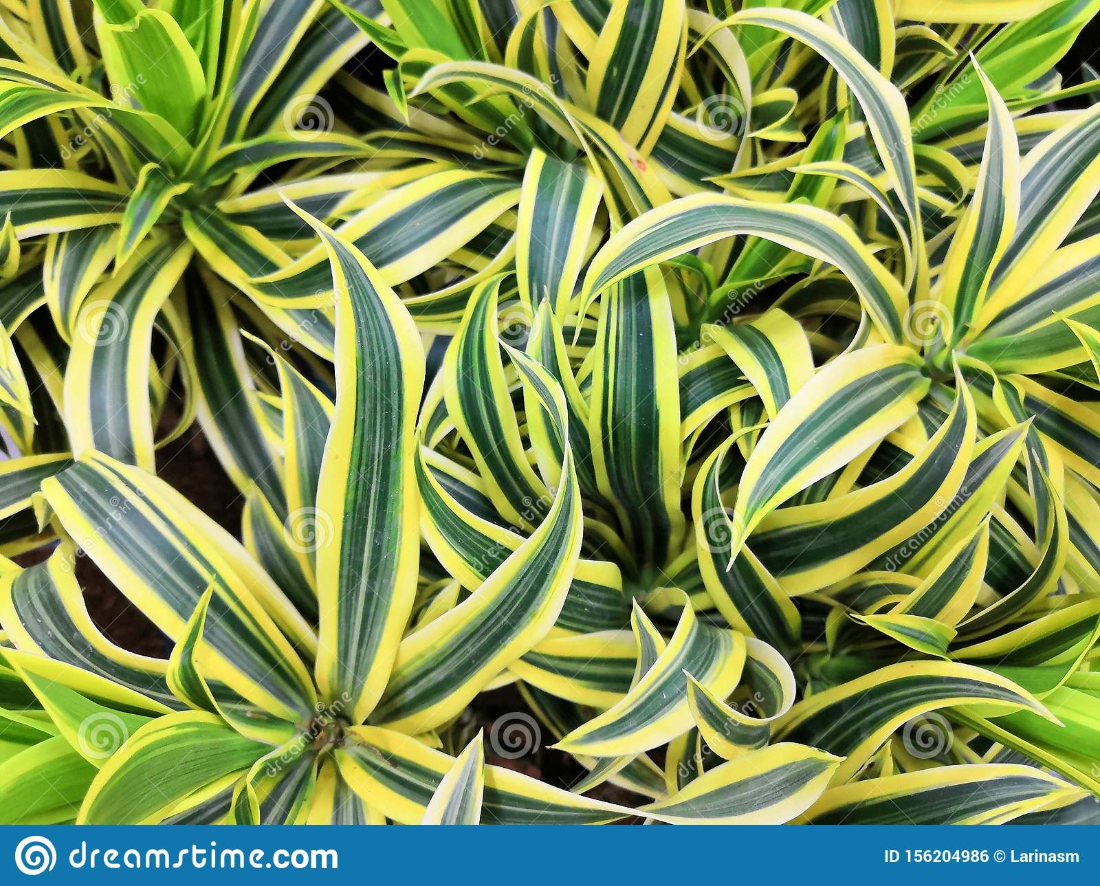 Variegated Green Yellow With White Beautiful Leaves Tropical Dracaena Plants Background Stock Photo Image Of Green Color 156204986 Yellowing leaves on your houseplants can be caused by a number of conditions. https www dreamstime com variegated green yellow white beautiful leaves tropical dracaena plants background song india plant popular image156204986