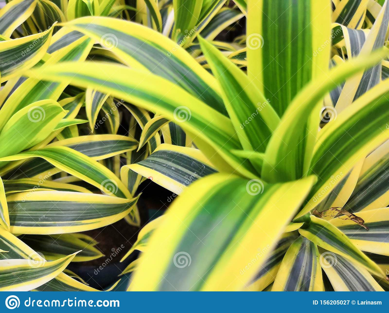 Variegated Green Yellow With White Beautiful Leaves Tropical Dracaena Plants Background Stock Image Image Of Leaves Indoor 156205027 Yellow twig dogwoods are perfect focals for a mixed bed and are stunning when planted in mass or in a unique hedge. https www dreamstime com variegated green yellow white beautiful leaves tropical dracaena plants background song india plant popular image156205027