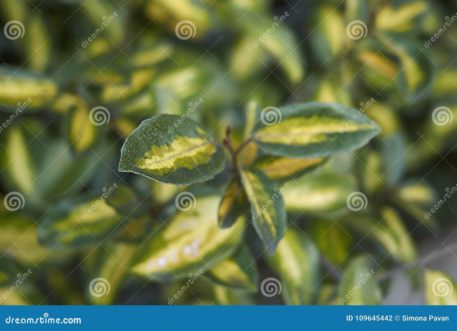 Elaeagnus pungens leaves close up