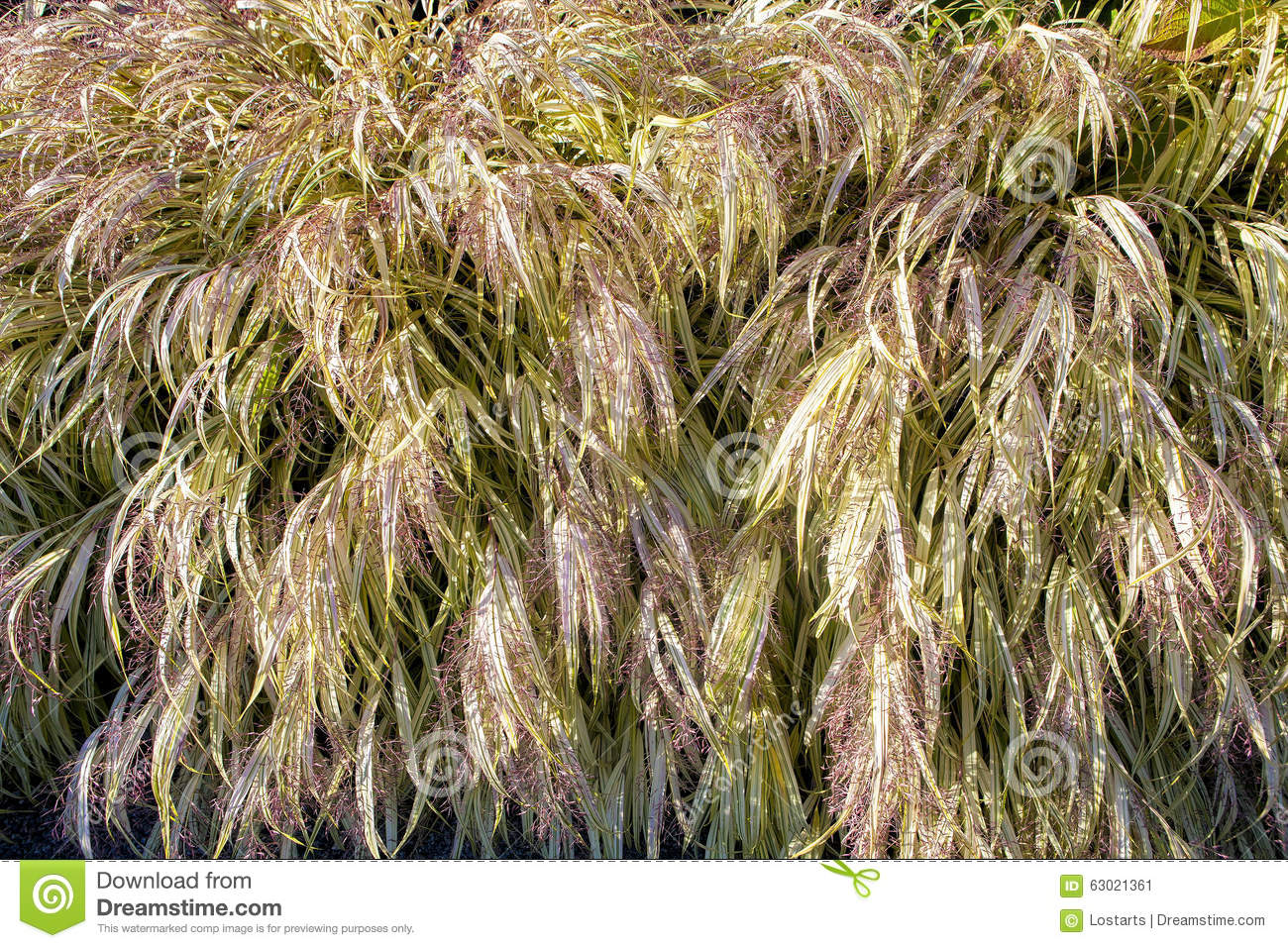 Variegated ornamental grass stock photo image 63021361 for Variegated ornamental grass