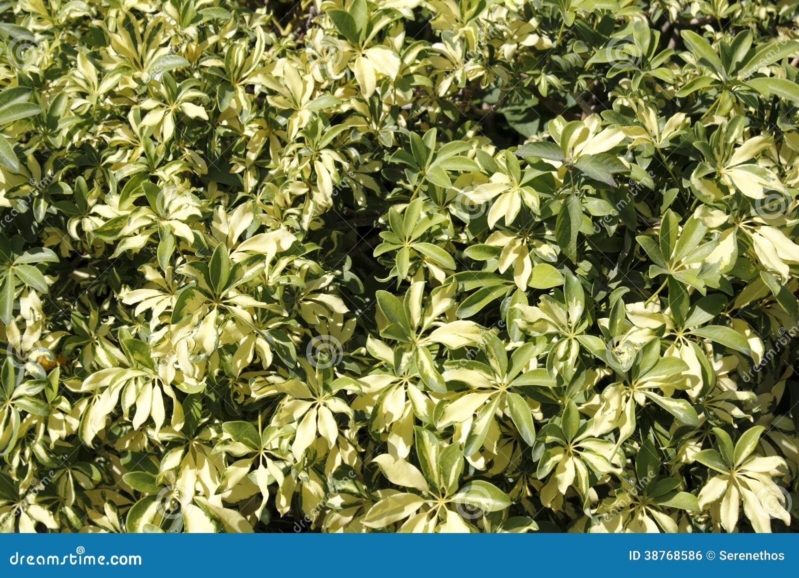 Variegated schefflera outdoors royalty free stock image - Schefflera variegata ...