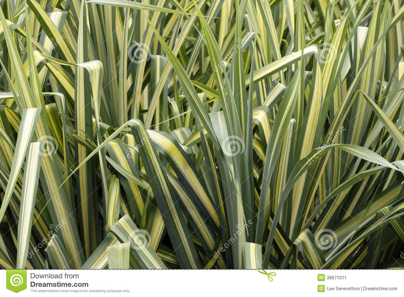 Closeup background of tall, evergreen ornamental sedge grass showing ...