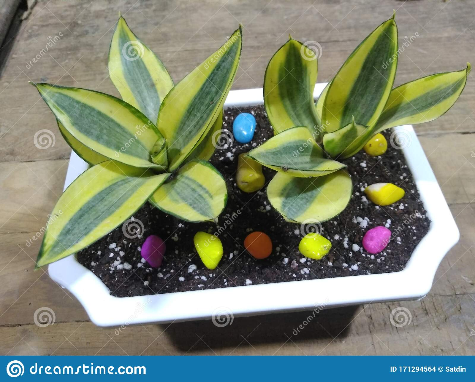 Variegated Snake Plant In Decorative Pot For Indoor Garden Stock Photo Image Of Plant Snake 171294564