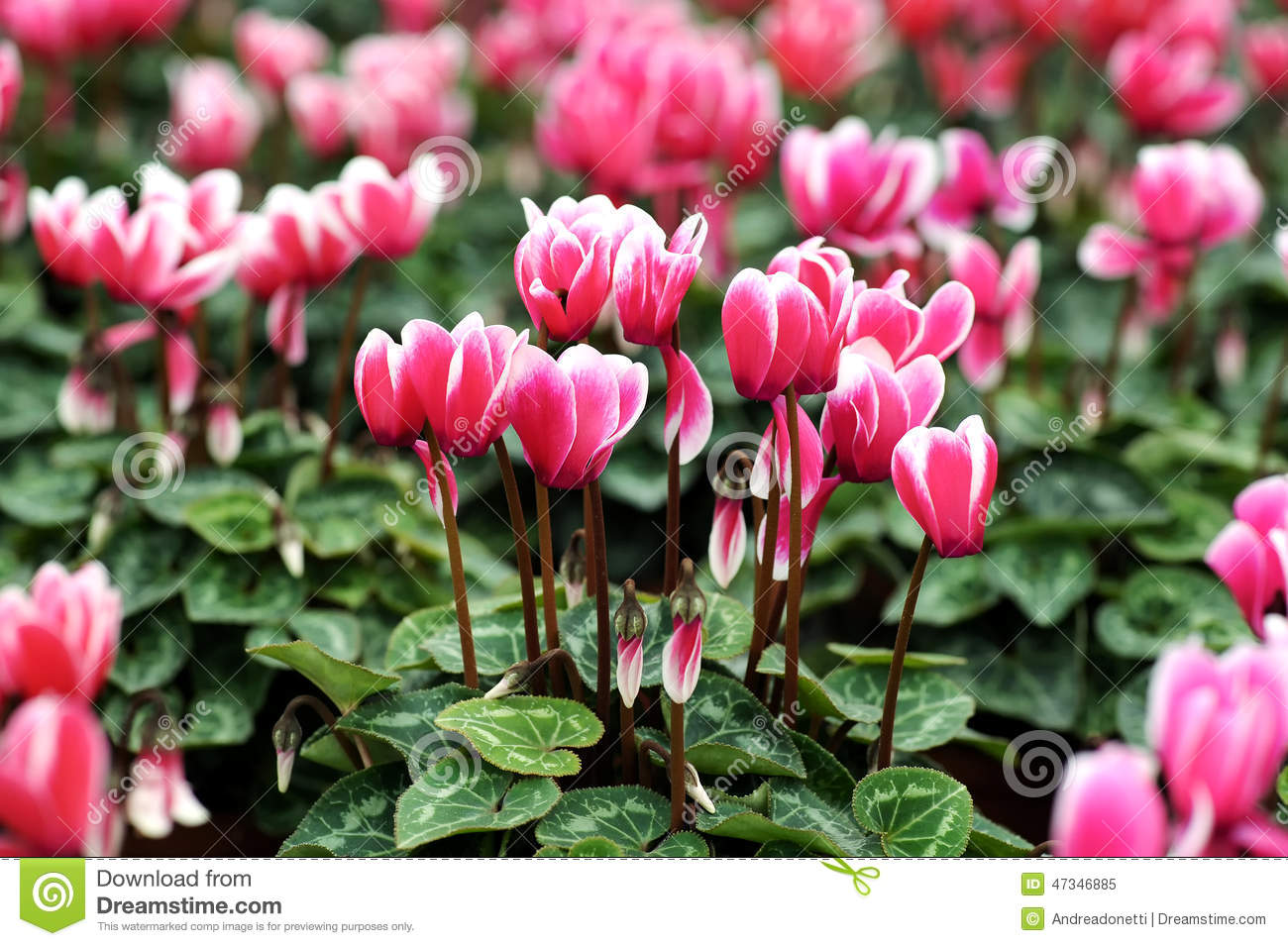 Variegated White And Pink Cyclamen Flowers Stock Image Image Of