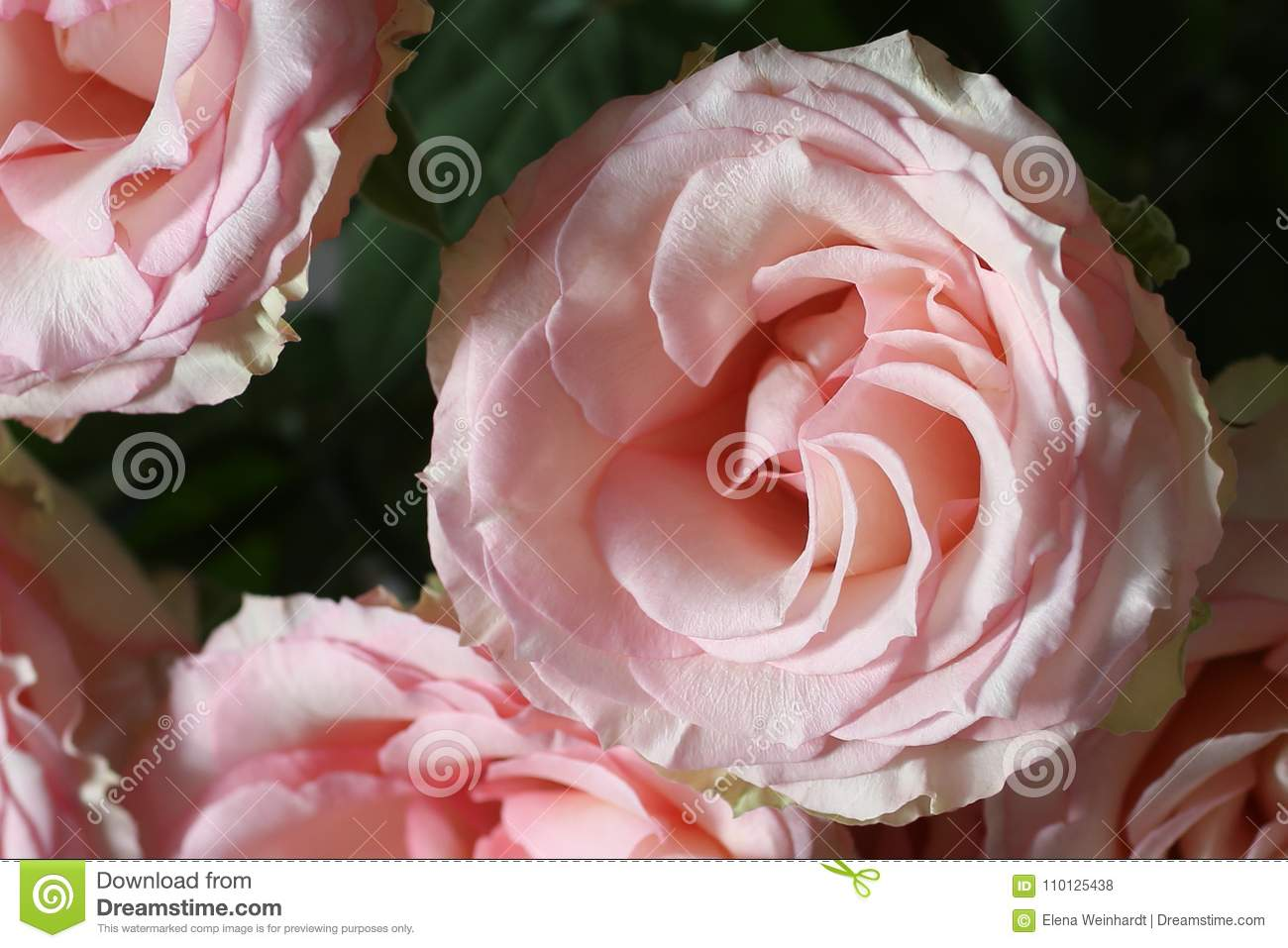 Varietal Pink Roses ! Classic Is Always In Fashion Even At The ... b31dd267e00