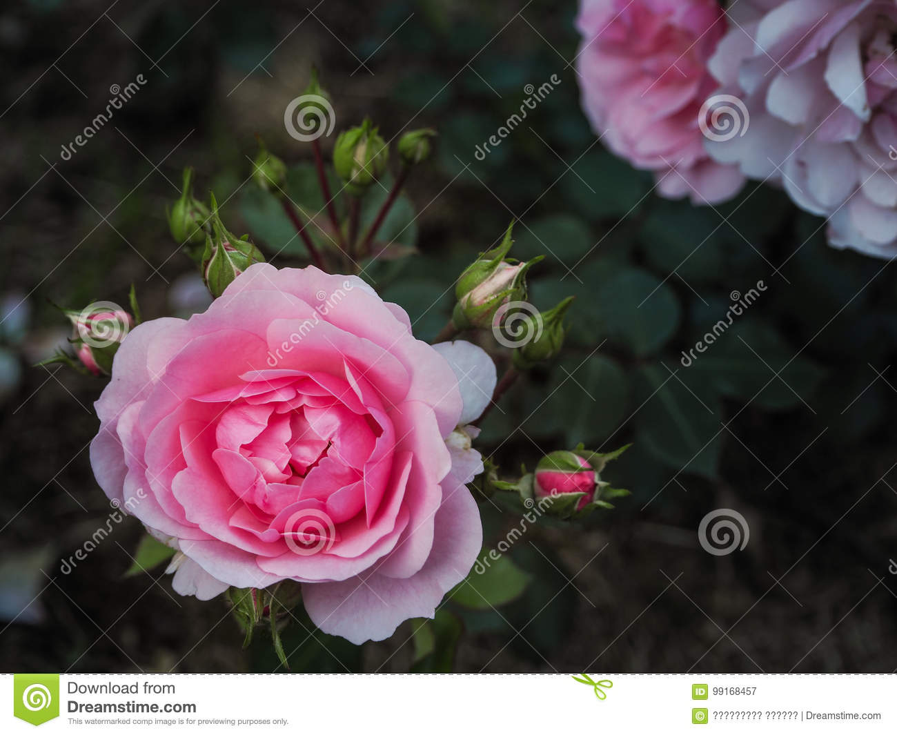 Varietal Roses. Commercial Cultivation Of Flowers For Bouquets ...
