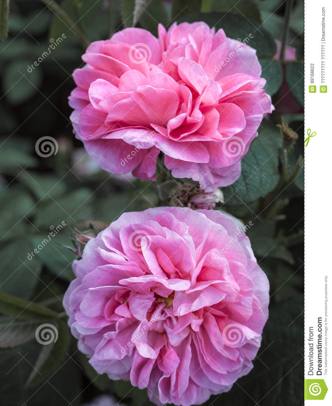 Varietal roses commercial cultivation of flowers for bouquets commercial cultivation of flowers for bouquets fragrant rose izmirmasajfo