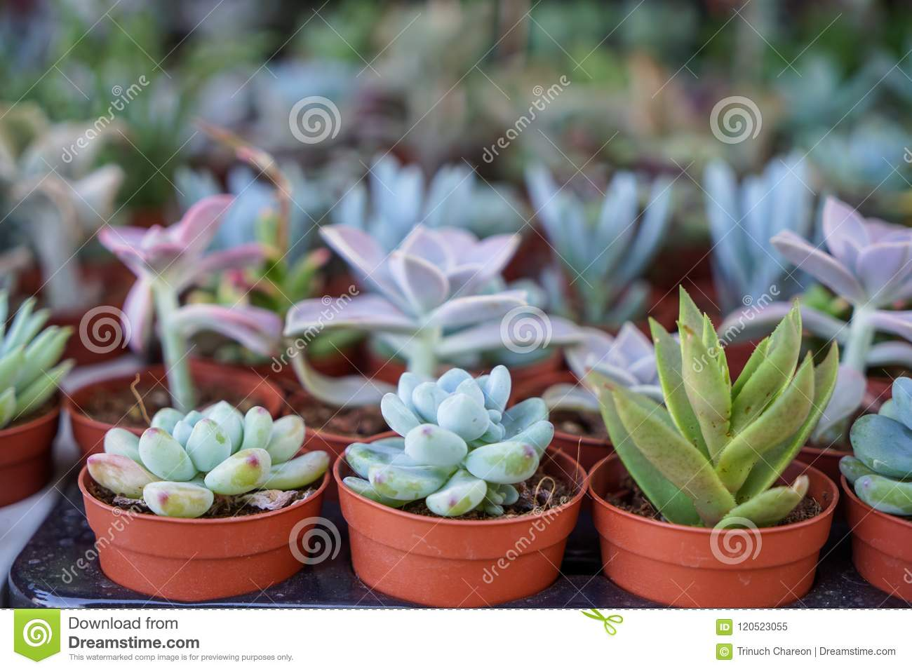 Varieties of green hen and chicks, succulent plant, in brown pot with blurred background selling in local market, selective focus
