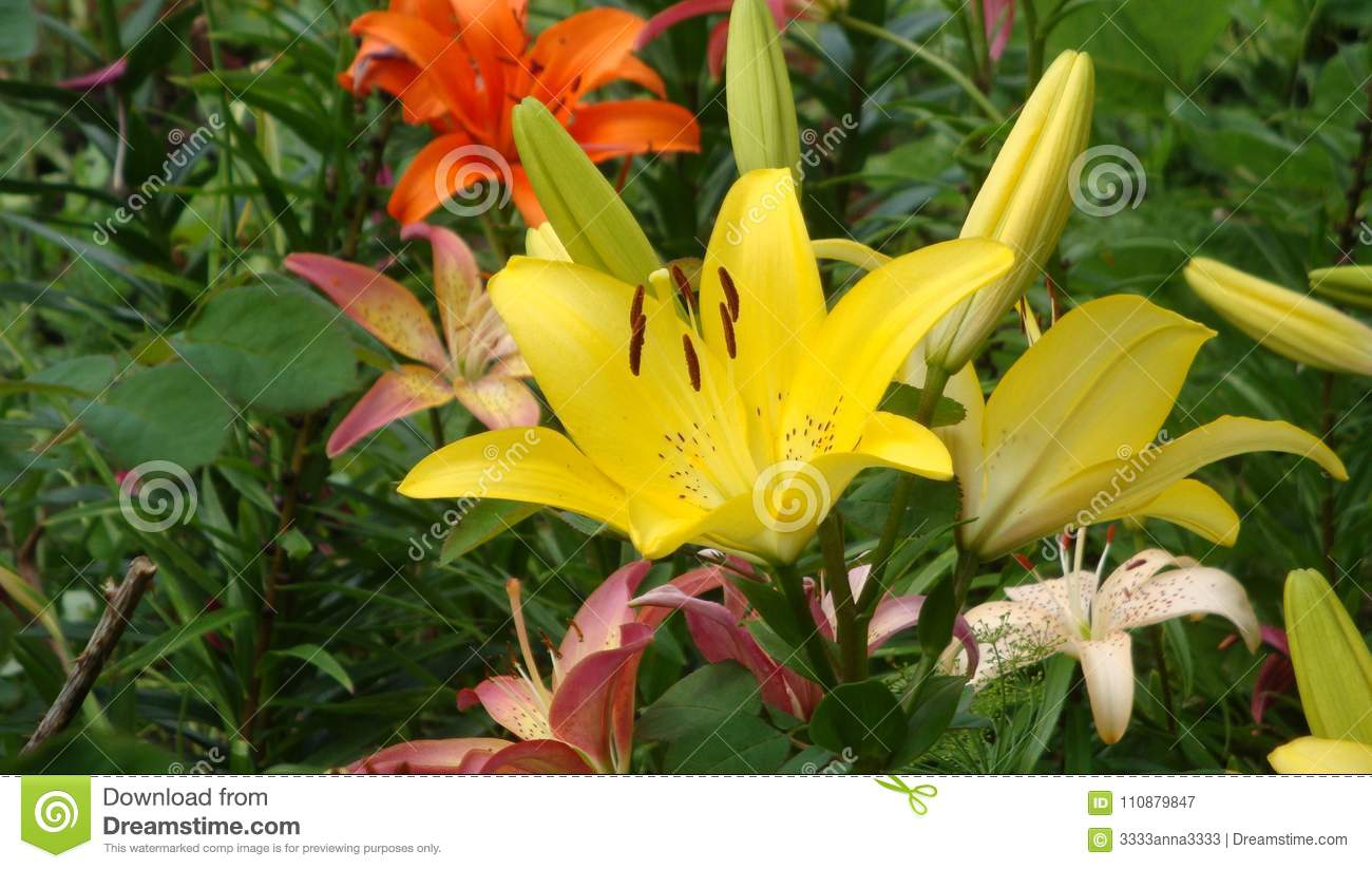 Varieties Of Lilies Mona Asian Hybrids The Flowers Are Beautiful
