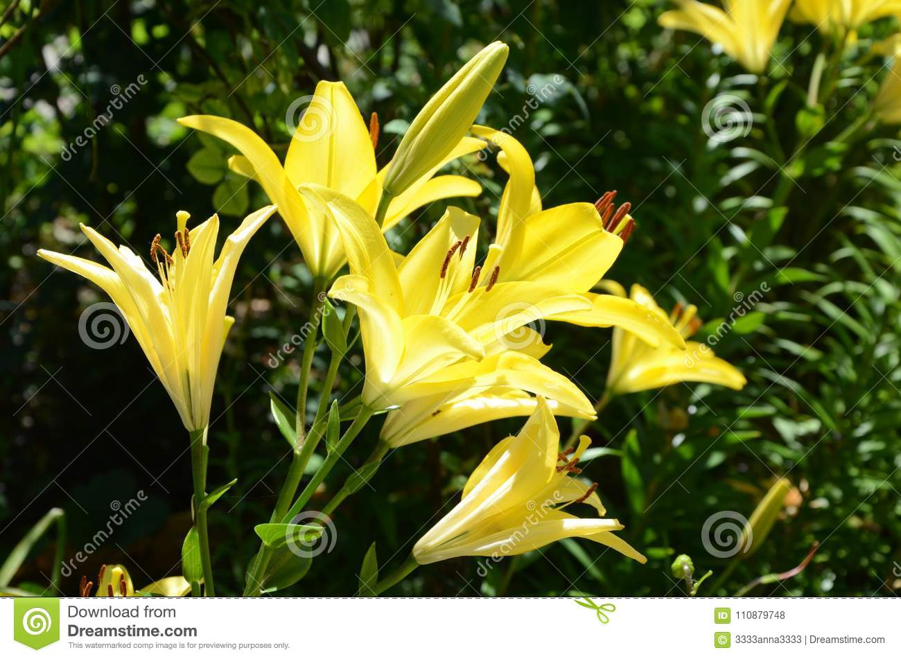 Varieties Of Lilies Mona Asian Hybrids Stock Photo Image Of