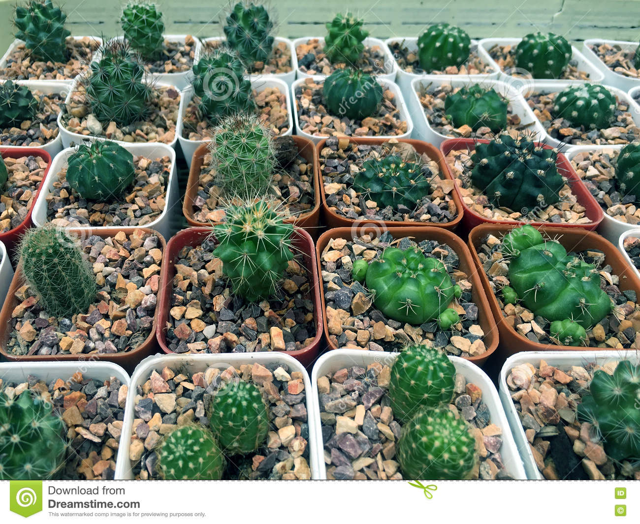 Variety of cactus