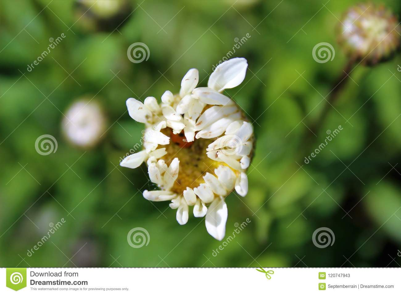 Prey And Predator Insects In A Daisy Flower Stock Image Image Of