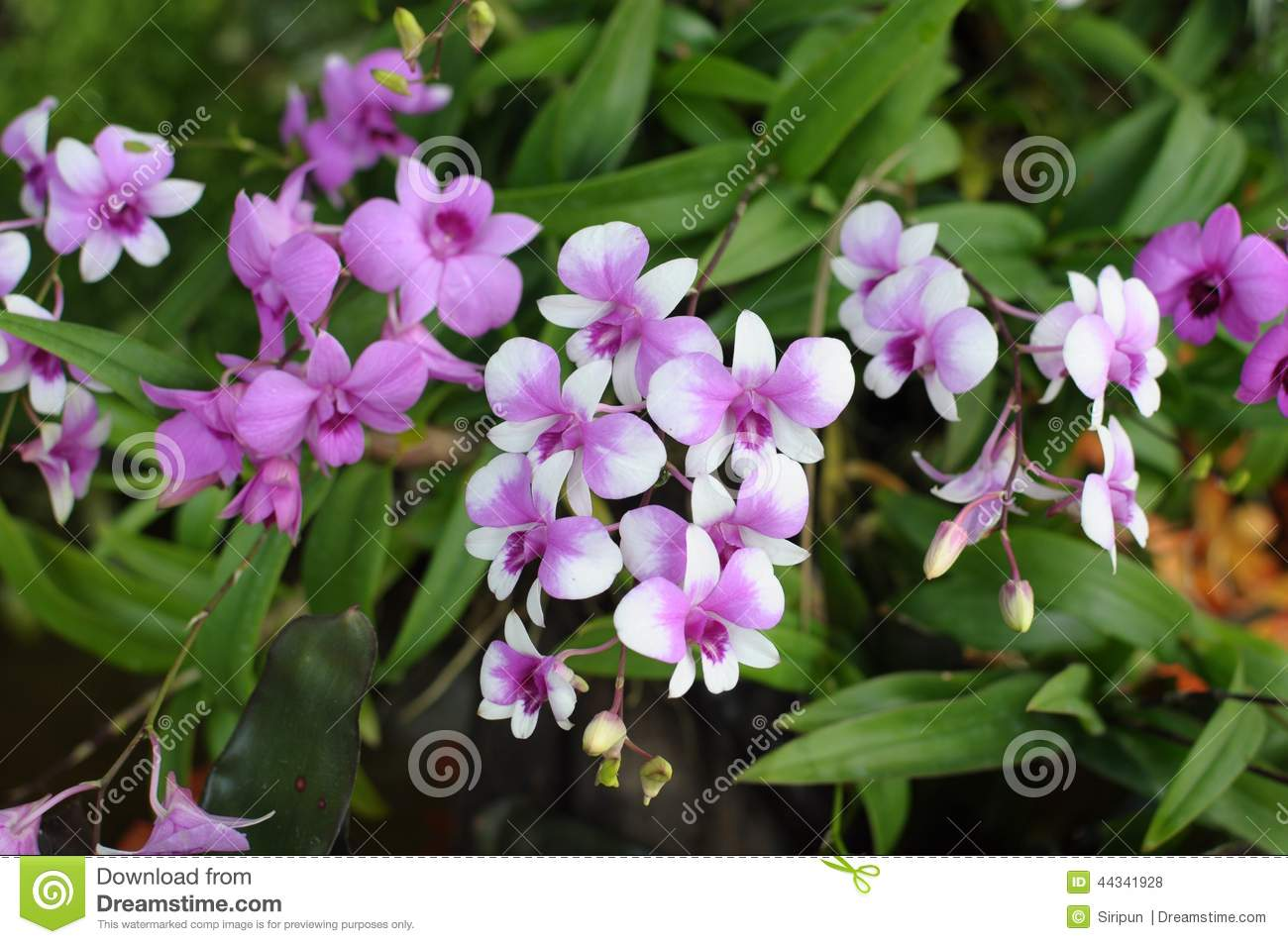 Dendrobium Group Orchid