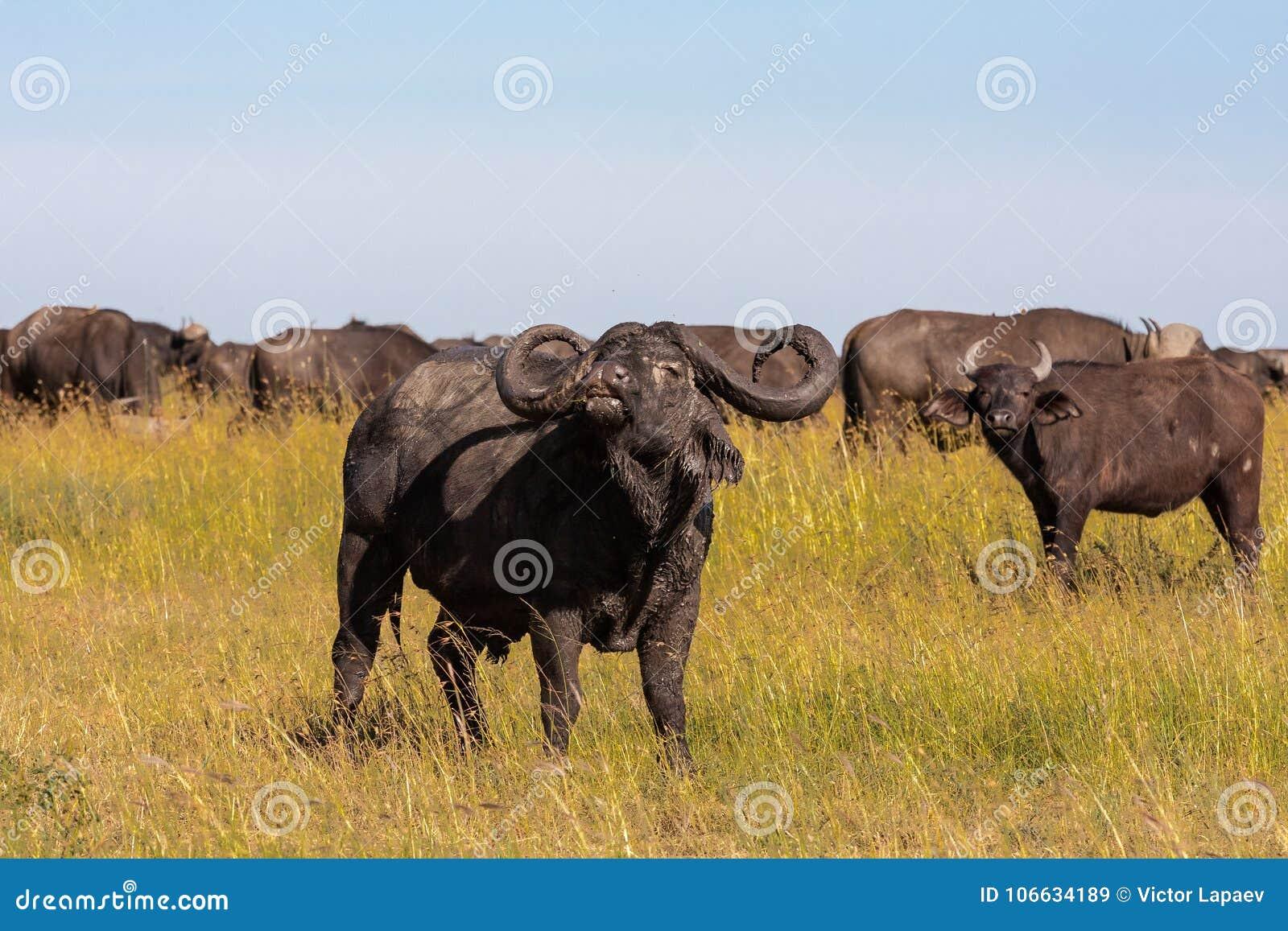 Variez le grand buffle - mâle alpha Serengeti, Afrique