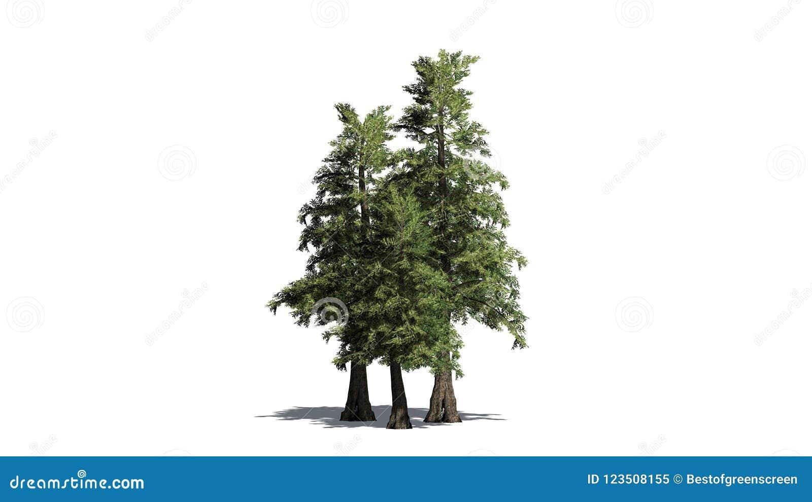Varios diversos árboles de cedro de rojo occidental