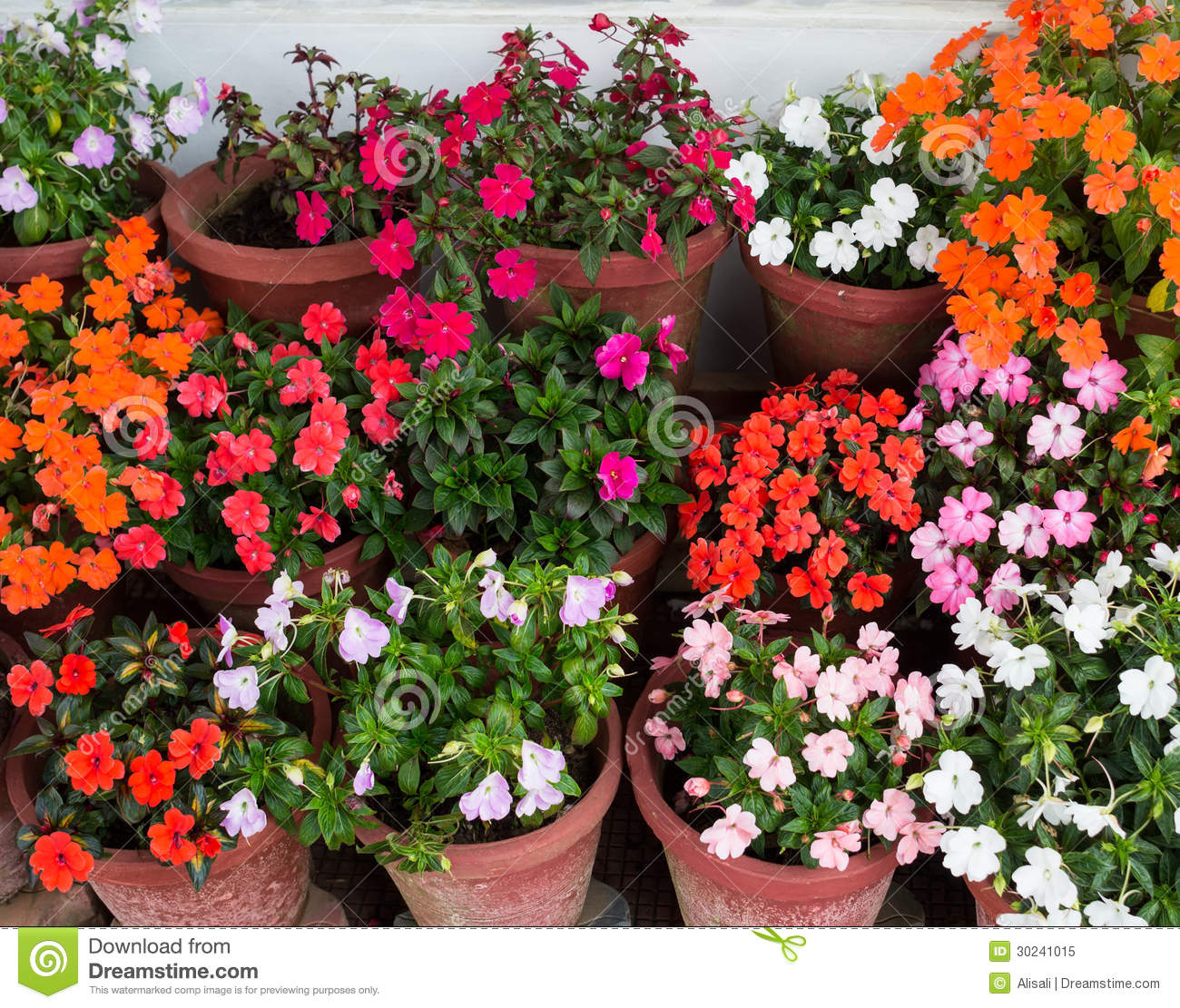 colorful impatiens flowers in containers stock photo  image, Natural flower