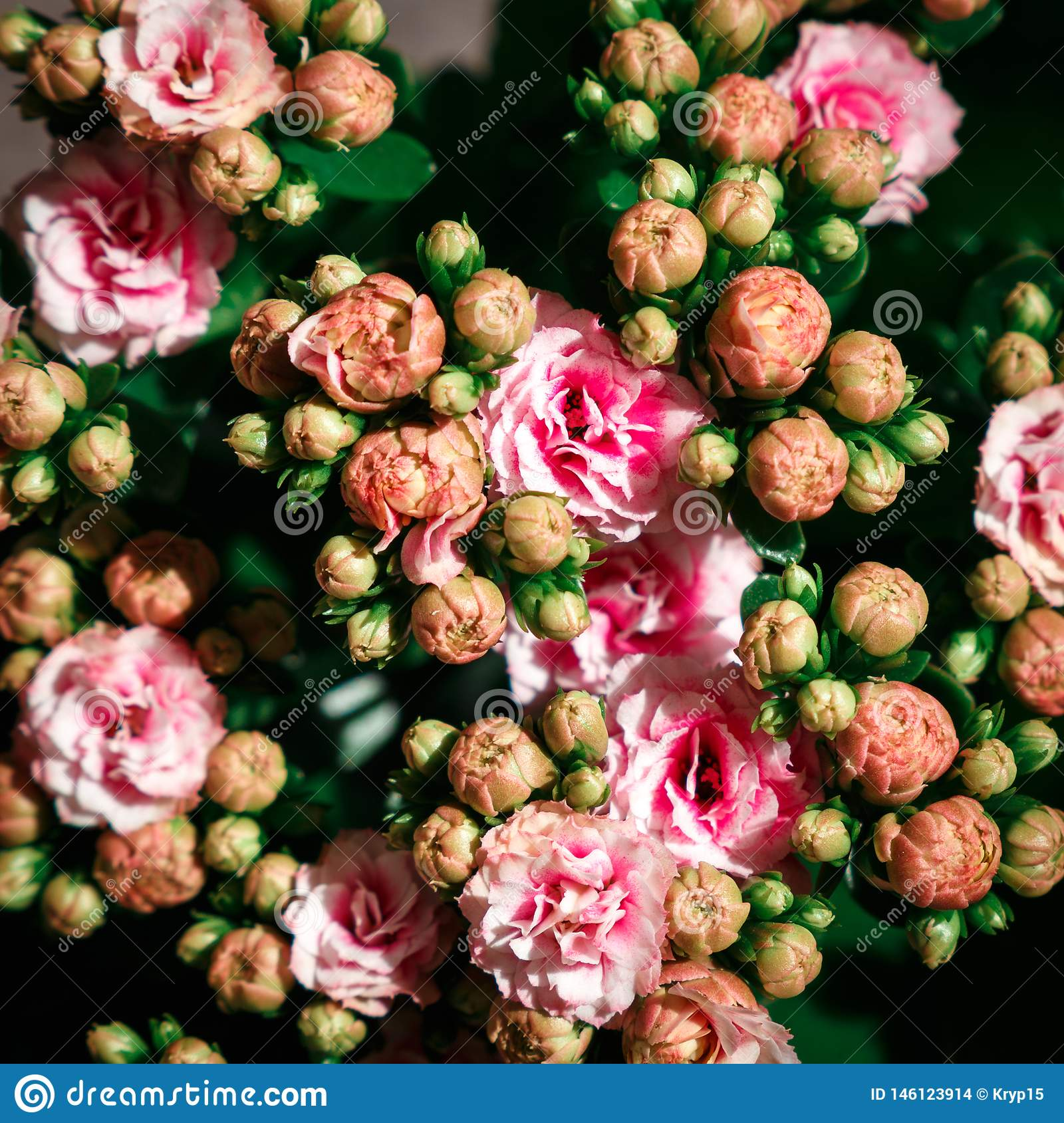 Various pink Kalanchoe flowers on black background. Flat lay