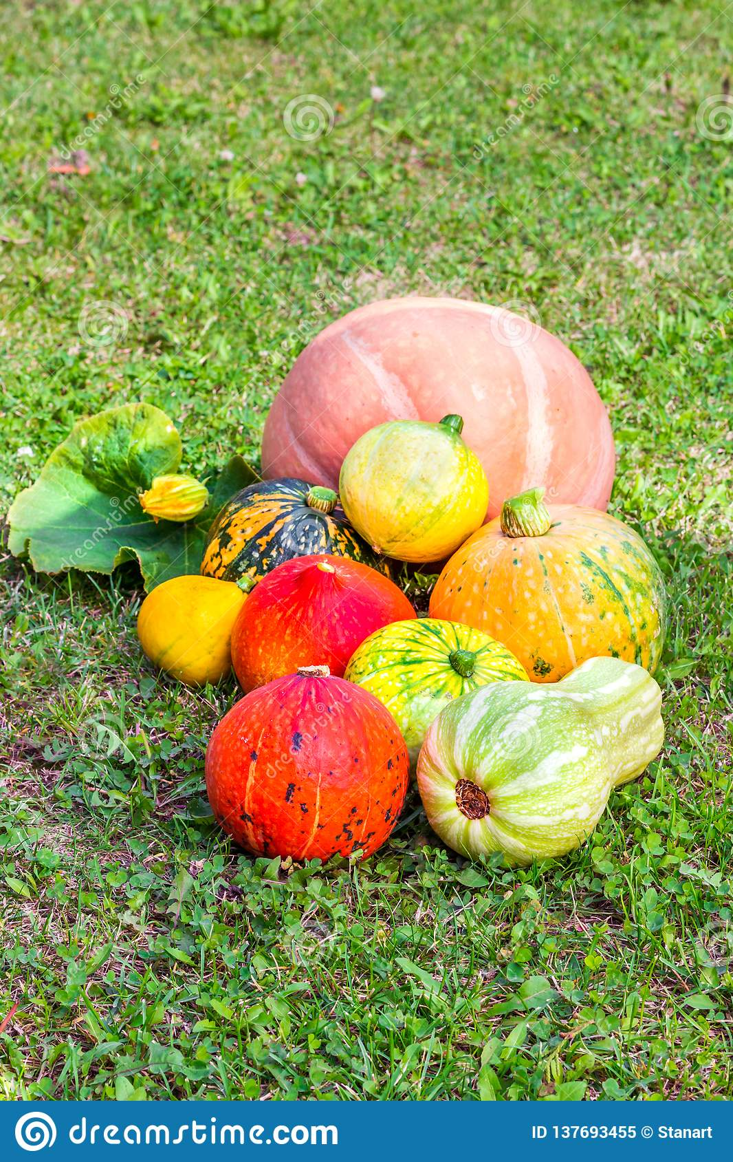 Various pumpkins cultivar squash plant Cucurbita pepo fresh from the market as close up for thanksgiving or decorate on halloween