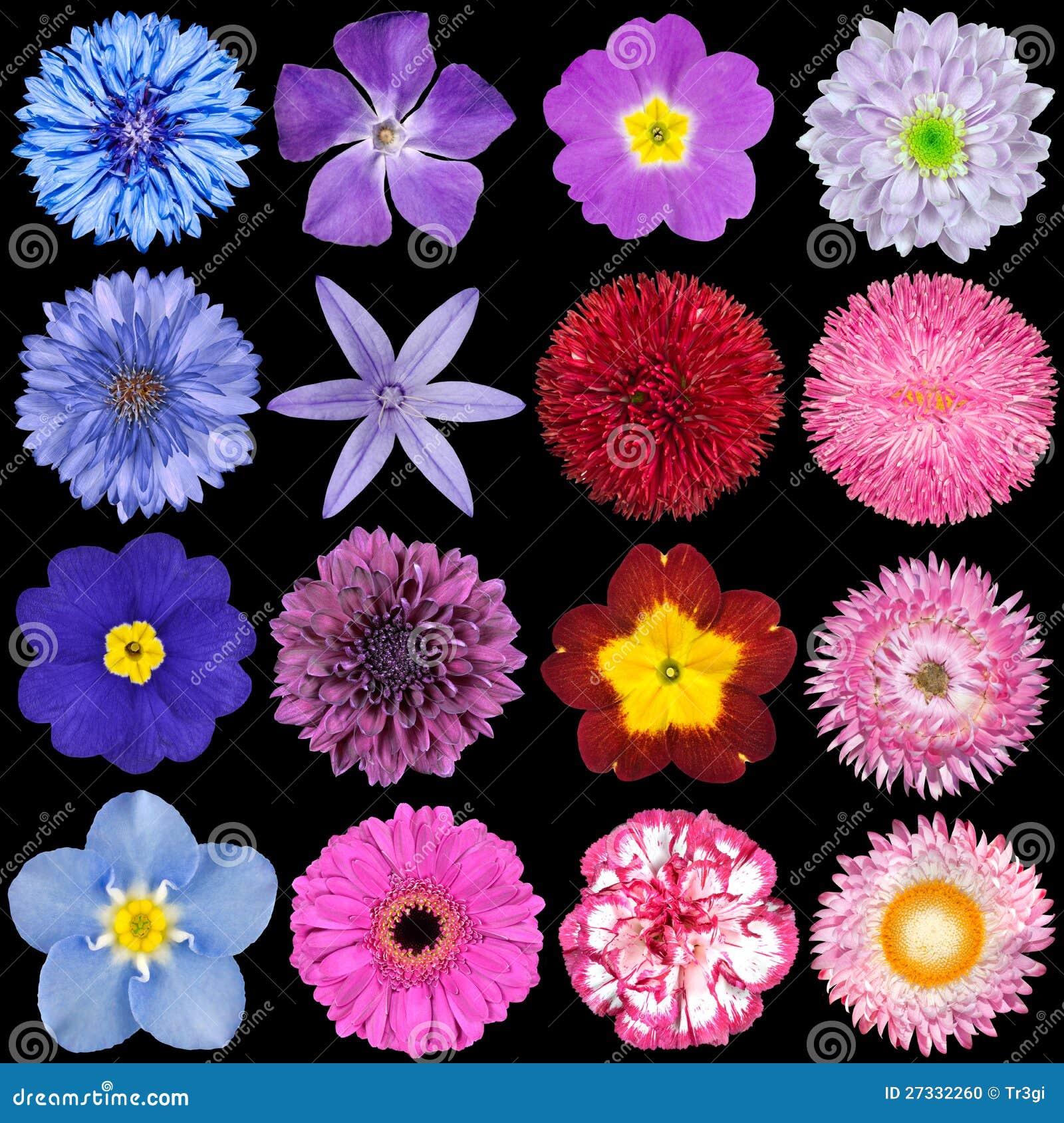 Purple Marigold Flowers Comousar