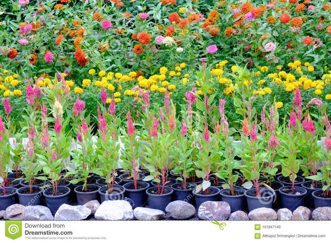 Various types of flowers in pots that are placed in the garden & Various Types Of Flowers In Pots That Are Placed In The Garden Stock ...