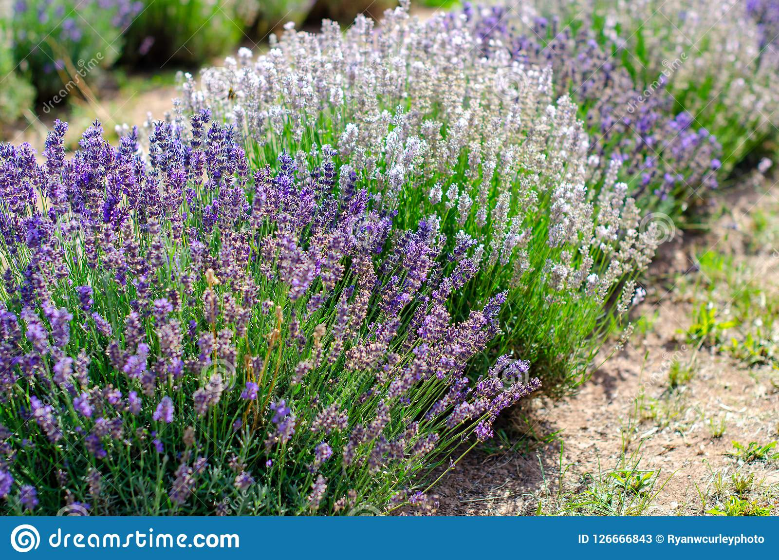 Various types of lavender in a row