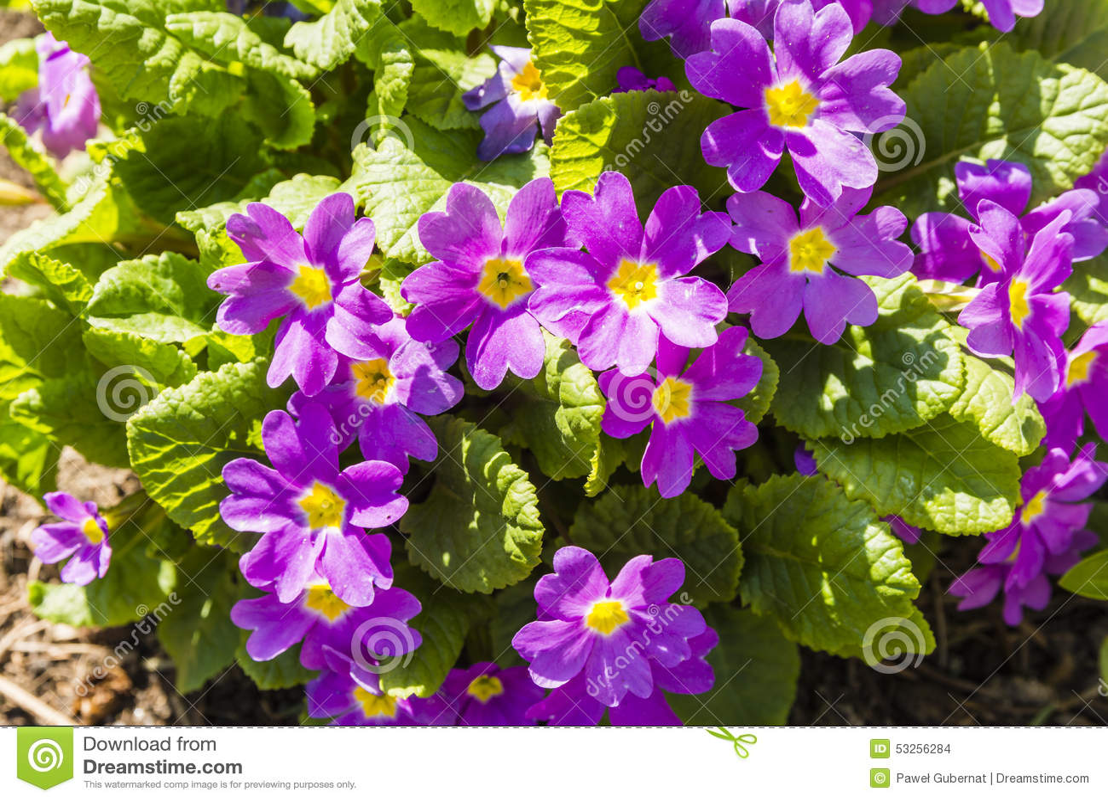 vari t d 39 levage de fleurs du genre primev re fleur rose photo stock image 53256284. Black Bedroom Furniture Sets. Home Design Ideas