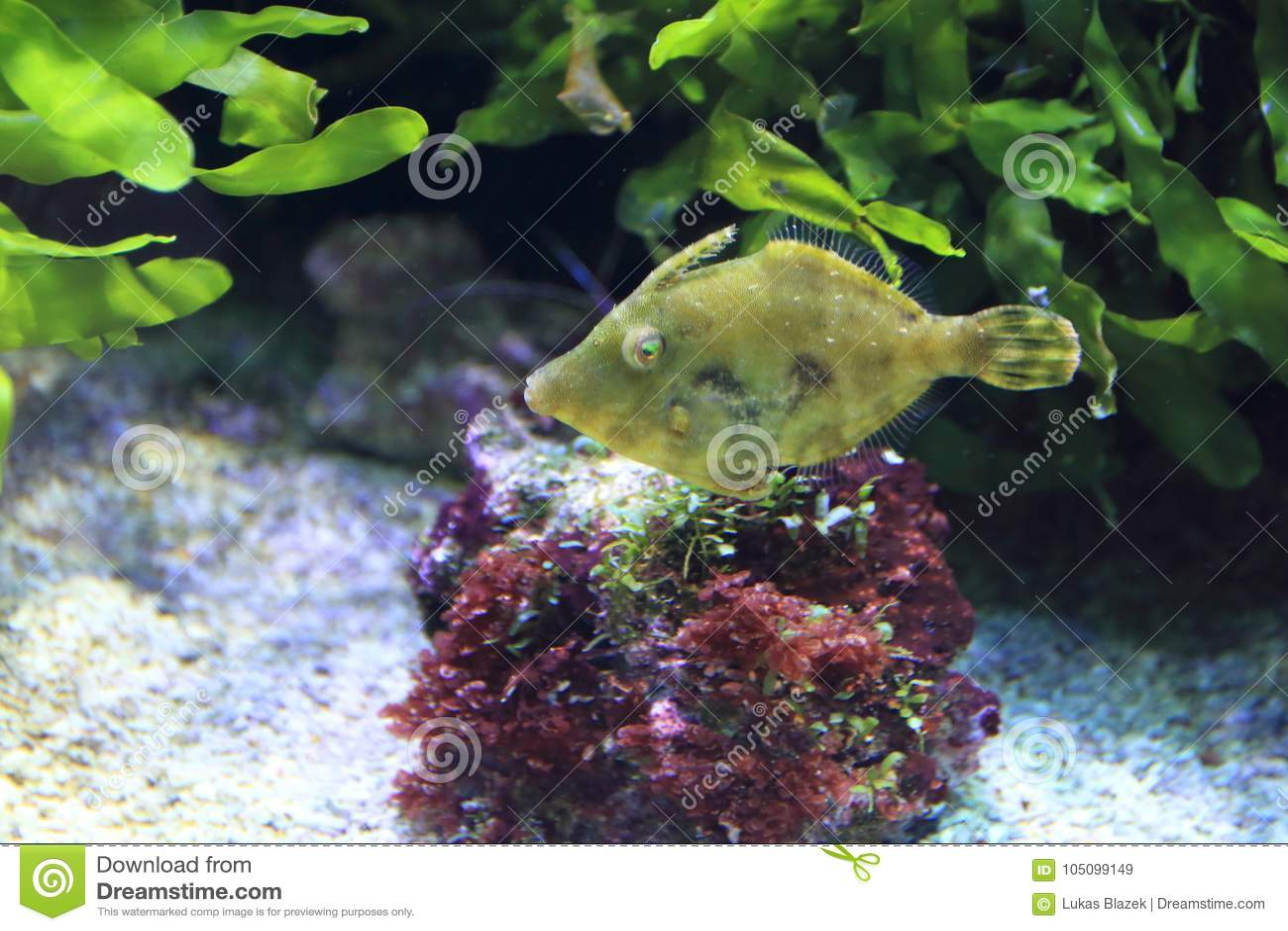 Varkenshaar-staart dossier-vissen