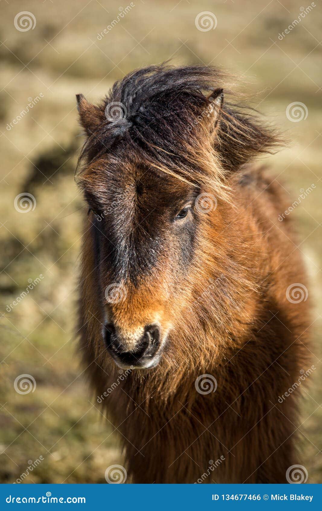 Varmt ljus på den lösa ponnyn, Bodmin hed, Cornwall