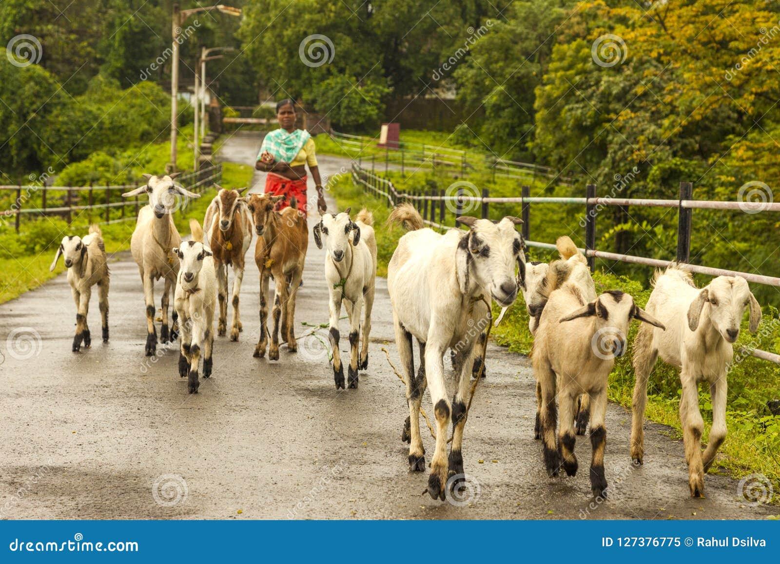 Vasai, maharashtra, la INDIA - 22 de septiembre de 2018: Una mujer india no identificada lleva sus cabras al pasto el 22 de septi