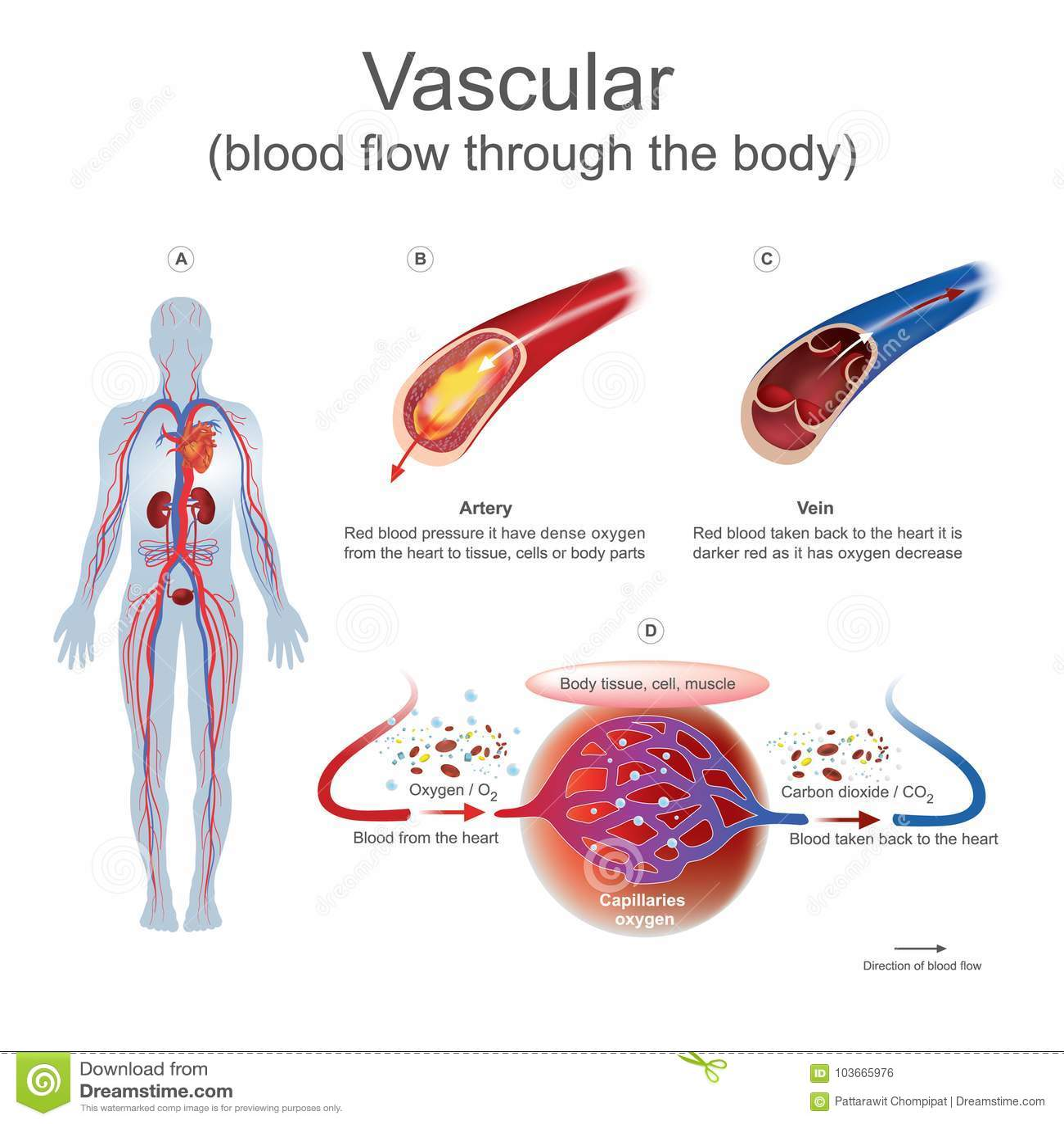 Vascular Blood Flow Through The Body Stock Vector Illustration Of