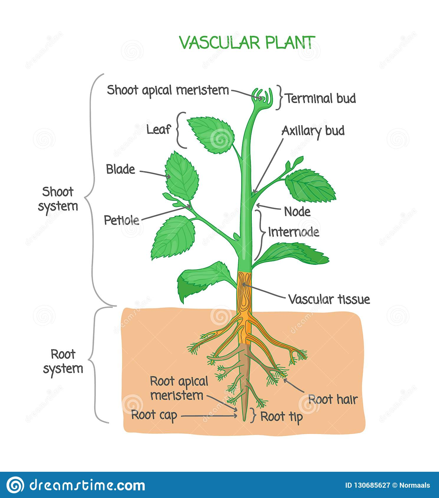 Vascular Plant Biological Structure Labeled Diagram